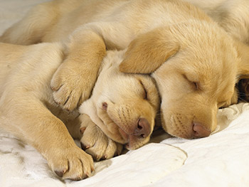 sleeping dogs cute puppies pictures photos collections
